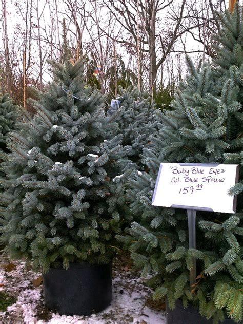 diy plant  christmas tree   garden gardenista