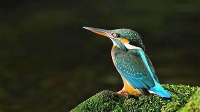 Birds Bird Wallpapers Kingfisher Pc Background Desktop