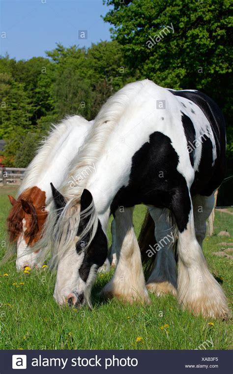 irish tinker pferde irish tinker stuten equus