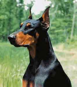 do doberman pinschers shed bunkblog