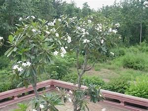 Baum Mit Blüten : ein frangipani baum mit wei en bl ten in einer tempelanlage in thailand im juni 2010 ~ Frokenaadalensverden.com Haus und Dekorationen