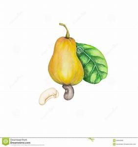 Cashew Stock Illustration - Image: 55844580