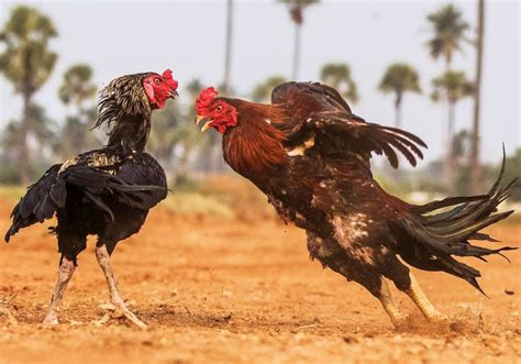 The roosters are a japanese rock band formed in fukuoka prefecture in 1979. The Magnificent Photographs of Roosters During Fighting Looking so good