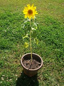 Interesting Way to Growing Sunflowers in Pots - The