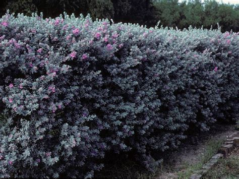 hedge plant with purple flowers texas sage great and hearty shrub that grows 3 to 8 feet high leucophyllum frutescens texas