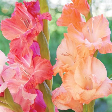 gladiolus hardy planting guide easy to grow bulbs