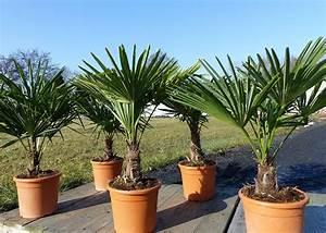 Palmen Für Drinnen : palmen f r urlaubsflair in haus und garten ~ Bigdaddyawards.com Haus und Dekorationen