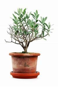 Olivenbaum Im Topf : olivenbaum umtopfen so machen sie es richtig ~ Michelbontemps.com Haus und Dekorationen
