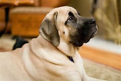 Mastiff Dogs Intelligent Least Train Hard English