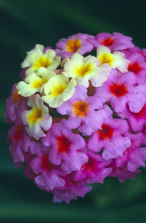 purple yellow flowers