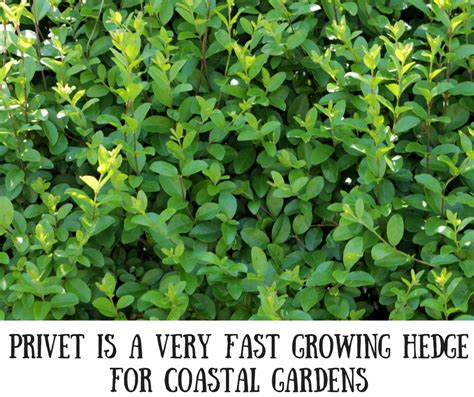 fast growing fast growing hedges for seaside gardens