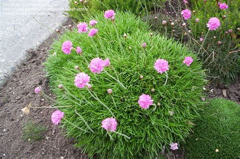 thrift plant plantfiles pictures sea thrift sea pink common thrift armeria maritima by stephanotis