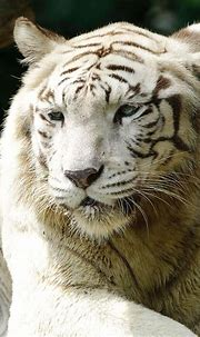 Real White Tiger Fur Coat - Tradingbasis