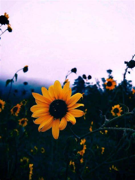 sunflower aesthetic wallpapers