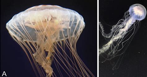 common jellyfish    species udaily
