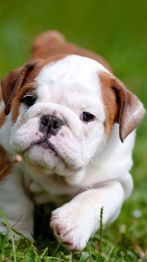 Hd Animal Iphone Wallpapers - bulldog puppies iphone wallpaper hd animal