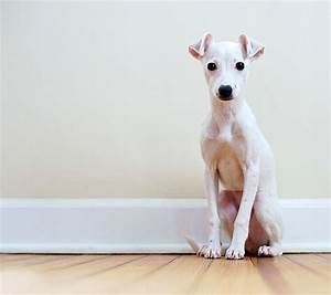 Italian Greyhound Dog Puppies   Collection 7+ Wallpapers