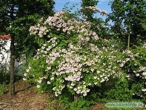 Weiß Blühender Strauch : kolkwitzie kolkwitzia amabilis bl hender strauch ~ Lizthompson.info Haus und Dekorationen