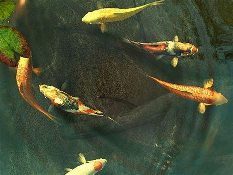 Animated Koi Fish Wallpaper - moving koi fish wallpaper wallpapersafari