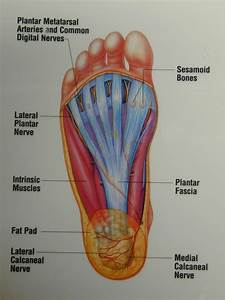 Anatomy Of The Foot Bottom Anatomy Of The Bottom Of The
