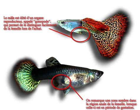 guppy poisson d eau douce aqua aquarium et poissons