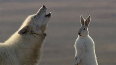 wolf pack hunts  hare  hunt bbc earth youtube