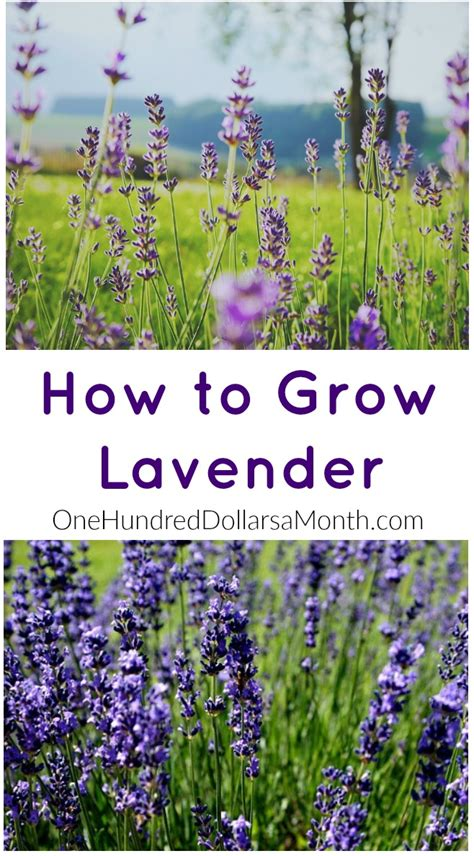 how to plant lavendar how to grow lavender start to finish one hundred dollars a month