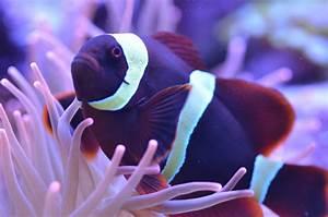 Purple Clownfish