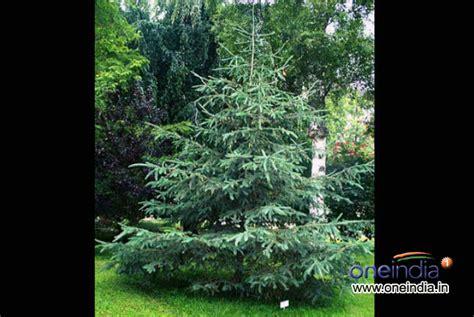 types of live christmas trees photos pics 229390
