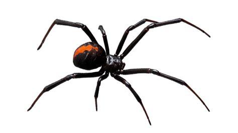 spinnen in der wohnung bekämpfen gift gegen spinnen spinnen vertreiben bek mpfen hausmittel gegen spinnen in haus wohnung
