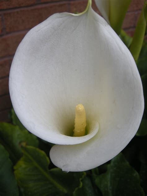 zantedeschia aethiopica landscape architects pages