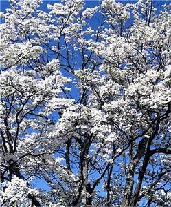 White Magnolia Tree | Flickr - Photo Sharing!