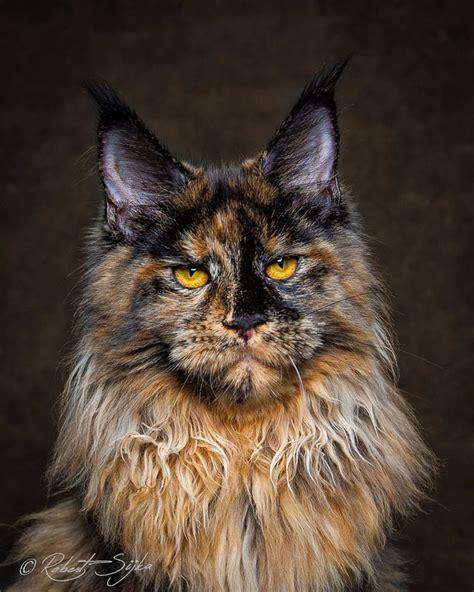 los maine coon los gatos mas majestuosos  veras este