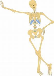 Human Skeleton Outline Clip Art At Clker Com