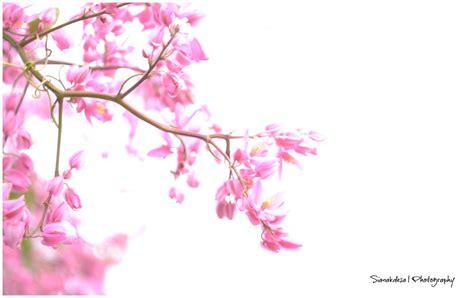 background bunga sakura  background check