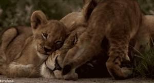 lion cub on Tumblr