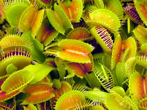 fly trap plant venus fly trap plants funcage