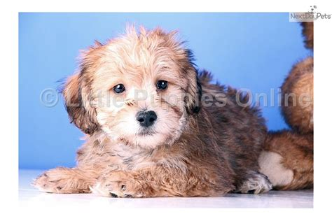 do yorkie poos shed yorkiepoo yorkie poo puppy for sale near mansfield ohio