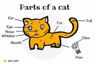 Parts Cat Animals Anatomy English Animal Different