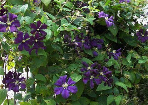 Clematis Große Blüten by Clematis Viticella Etoile Violette Waldrebe