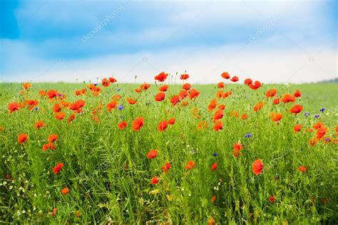 immagini prato fiorito prato fiorito con papaveri e fiordalisi foto stock