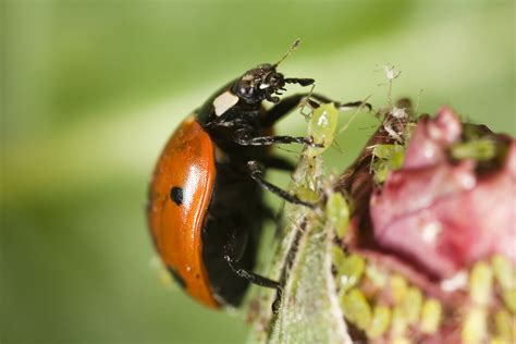 ladybug animals aphid ladybugs aphids bugs eat plants beneficial species picking ladybirds frame pest bring planning they beetle food plant