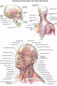 Human Neck Anatomy   Human Neck Anatomy Human Neck Anatomy