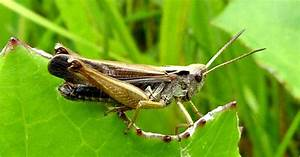 Insects of Scotland: Grasshoppers