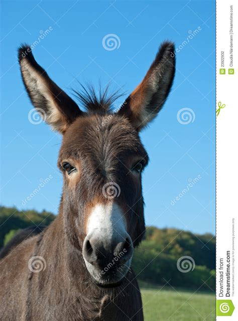funny mule stock photo image  mule smile hoofed