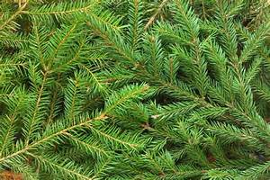 What To Do With Your Living Tree After Christmas