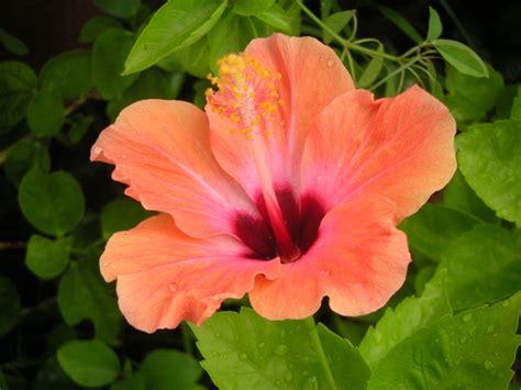 cuisine a vivre hibiscus d 39 intérieur rosa sinensis et sabdariffa