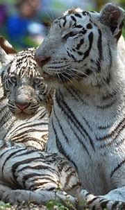 Rare White Tiger Killed by Bengal Tigers in India