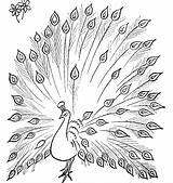 Peacock Coloring Drawing Pages Simple Colouring Peacocks Tail Its Sketch Printable Open Animal Colour Outline Feather Drawings Kid Bird Template sketch template