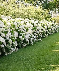 Hydrangea Paniculata Schneiden : kaufen sie jetzt zierstrauch hortensie strong annabelle ~ Lizthompson.info Haus und Dekorationen